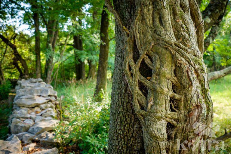 Kras drevo